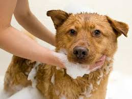 11 home remes to treat dog acne