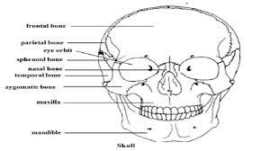 skull human skeletal system study material lecturing notes skull human skeletal system