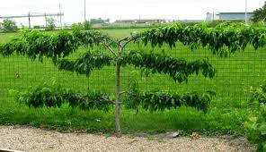 On Training A Fruit Tree  Espalier Fruit Trees Lemon Grass And Growing Cordon Fruit Trees