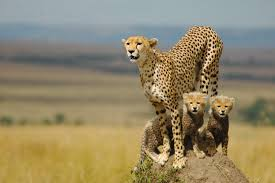 cheetahs cubs running