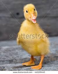 Myndaniðurstaða fyrir ducklings