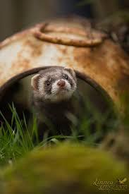 442 best images about Ferret on Pinterest