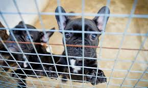 french bulldogs which have been smuggled in to the uk as bootleg breeders are illegally smuggling thousands of puppies into britain to meet christmas demand
