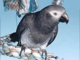 African Grey Timneh Psittacus Erithacus Timneh Timneh