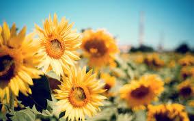 Laptop Wallpaper Sunflowers