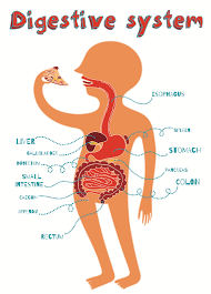 digestive system and how it works digestive system understanding digestion ibd awareness