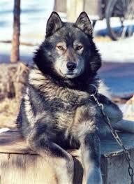 black german shepherd wolf hybrid.  Black Black German Shepherd Wolf Hybrid  Google Search Intended Black German Shepherd Wolf Hybrid E