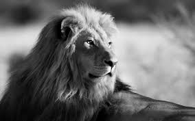 lion wallpaper black and white. Exellent White Lions Wallpaper HD Quality Images Wallpapers And Lion Black White I