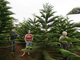 Christmastime In Hawaii  Jaspau0027s JournalChristmas Tree Hawaii