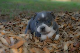 some american bully and pitbull puppies we have produced