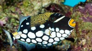 clown triggerfish. Perfect Triggerfish Clown Trigger In Triggerfish Saltwaterfishcom