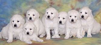 white golden retriever puppies for sale. Unique Puppies Golden Retriever Puppies  White British Cream  English Pups Imported  And For Sale X
