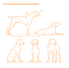 German Shorthaired Pointer Puppy Weight Chart German Pointer Dimensions Drawings Dimensions Guide