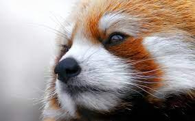48+] Red Panda Wallpaper Desktop on ...