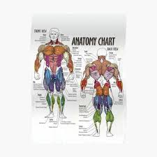 Neck Muscle Chart Anatomy Chart Muscle Diagram Poster