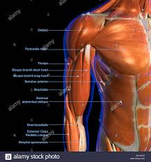 Neck Muscle Chart Labeled Anatomy Chart Of Male Biceps And Chest Muscle On