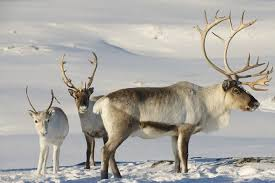 Image result for caribou