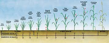 Winter Wheat Growth Stages Chart Southern Small Grains Resource Management Handbook Uga