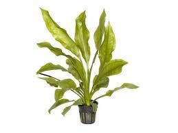 plant height 25cm