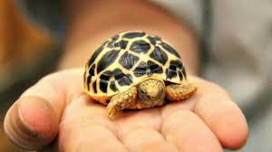 Indian Star Tortoise Diet Chart How To Care Star Tortoise In Hindi