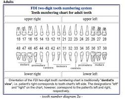 Ageless Human Tooth Numbering Chart Tooth Diagram Number