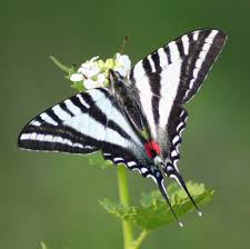 Zebra swallow tail butterfly