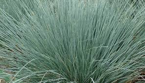 Helictotrichon sempervirens (Blue Oat Grass)