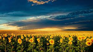Free Download Sunflower 4k Wallpaper ...
