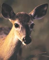 Identifying Types Of Deer