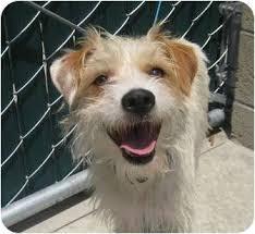 wire hair terrier mix breeds. Brilliant Breeds Adopted To Wire Hair Terrier Mix Breeds T