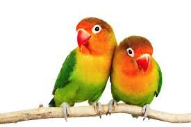 explore great apps beautiful birdore lovebirds png hd