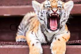 Image result for angry baby tiger