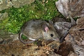 Resultado de imagen de raton