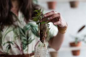 sweet potato houseplant. Brilliant Potato How To Grow A Sweet Potato In Your Home Inside Sweet Potato Houseplant D