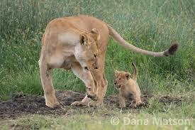 lion cub mimicking a lioness rupert