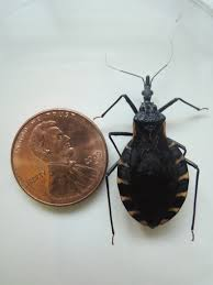 Small Brown Beetle In Bedroom Kissing Bug Identification Requires Closer Look Insects In The City