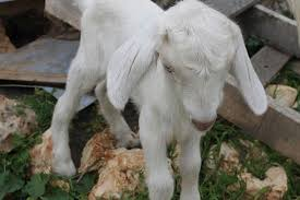 Dairy Goat Breeds Dairy Goat A To Z Mother Earth News