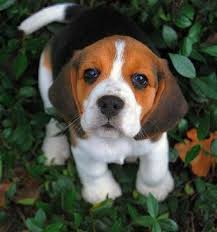 cute beagle puppies. Plain Puppies Todays Cutenessfor The Dog Lovers Cute Beagle By Picturegirl For Beagle Puppies T