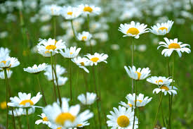 pictures of the flower. Modren The Common Daisy Flowers On Grass Field For Pictures Of The Flower I