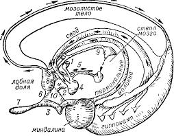 Реферат Нервная система и головной мозг com Банк  Нервная система и головной мозг