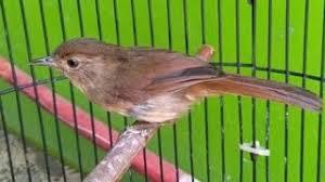 Burung flamboyan jantan bisa merekam suara burung flamboyan gacor atau bisa menirukan suara burung dengan kualitas terbaik. Suara Burung Flamboyan Gacor Mp3 Video Mp4 3gp M Lagu123 Fun