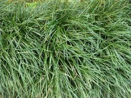tall grass texture. Very Tall Grass Texture