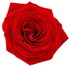 single red rose flower. Delighful Rose To Single Red Rose Flower