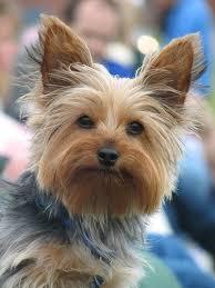 yorkshire terrier haircuts. Brilliant Yorkshire The Classics Yorkie Haircut And Yorkshire Terrier Haircuts O