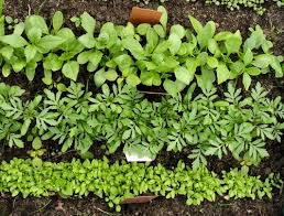 companion herbs to plant in your garden