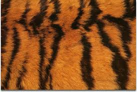 Tiger Pattern Gorgeous Tigers Skin And Fur