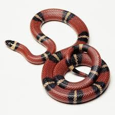 milk snake size kingsnake lampropeltis petmd