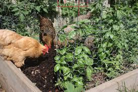Backyard Chickens How To Get Rid Of FliesHow To Keep Backyard Chickens