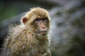 Monkey B virus: What is it and how dangerous is it?