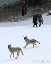 grey wolf size grey wolf canis lupus